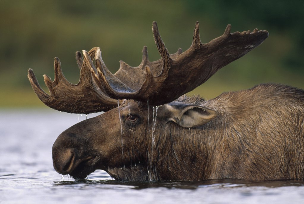 Moose (Alces americanus) bull with water dripping from antlers after feeding in glacial kettle pond, Denali National Park and Preserve, Alaska : Stock Photo