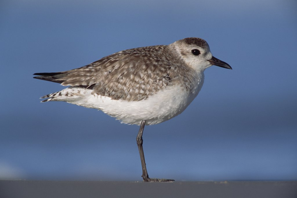 Sanderling (Calidris alba) non-breeding bird resting on one leg on shore, spring, Gulf of Mexico, Padre Island National Seashore, Texas : Stock Photo
