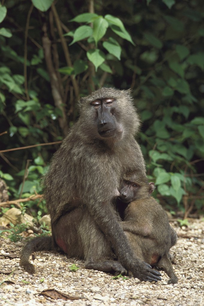 Stock Photo: 4201-30766 Olive Baboon (Papio anubis) female nursing infant, Gombe Stream National Park, Tanzania