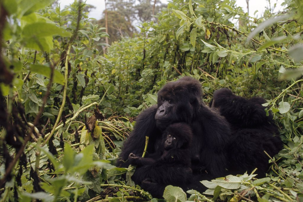 Mountain Gorilla (Gorilla gorilla beringei) group in misty rainforest, Virunga Mountains nestled along the northern border of Rwanda, the Democratic Republic of the Congo and Uganda : Stock Photo