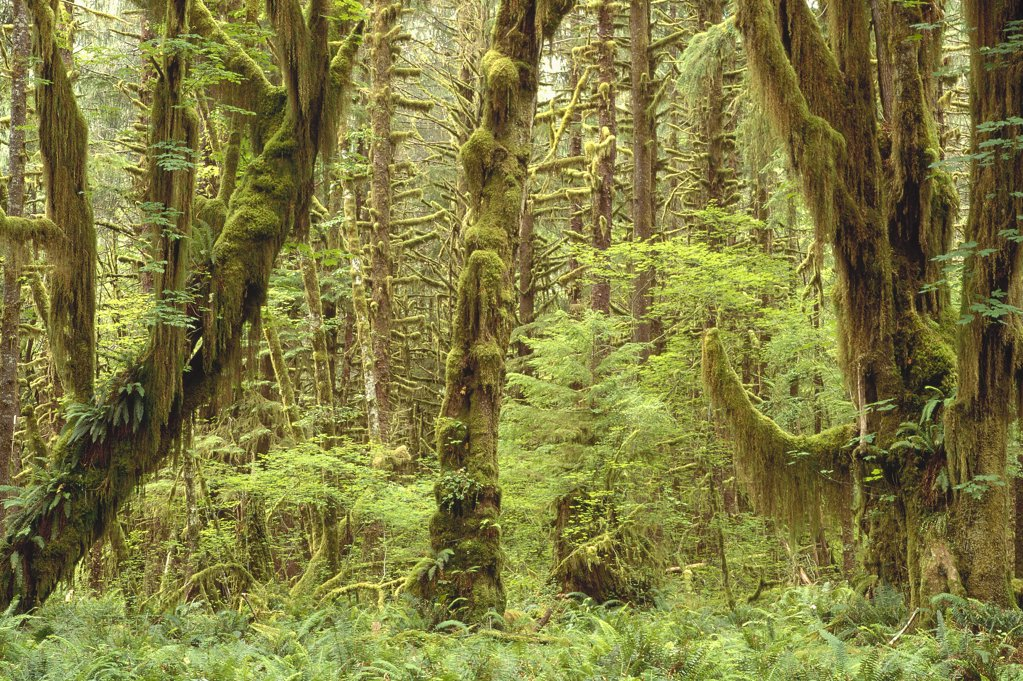 Trees covered with moss in temperate rainforest interior, Queen's River Valley, Olympic National Park, Washington : Stock Photo