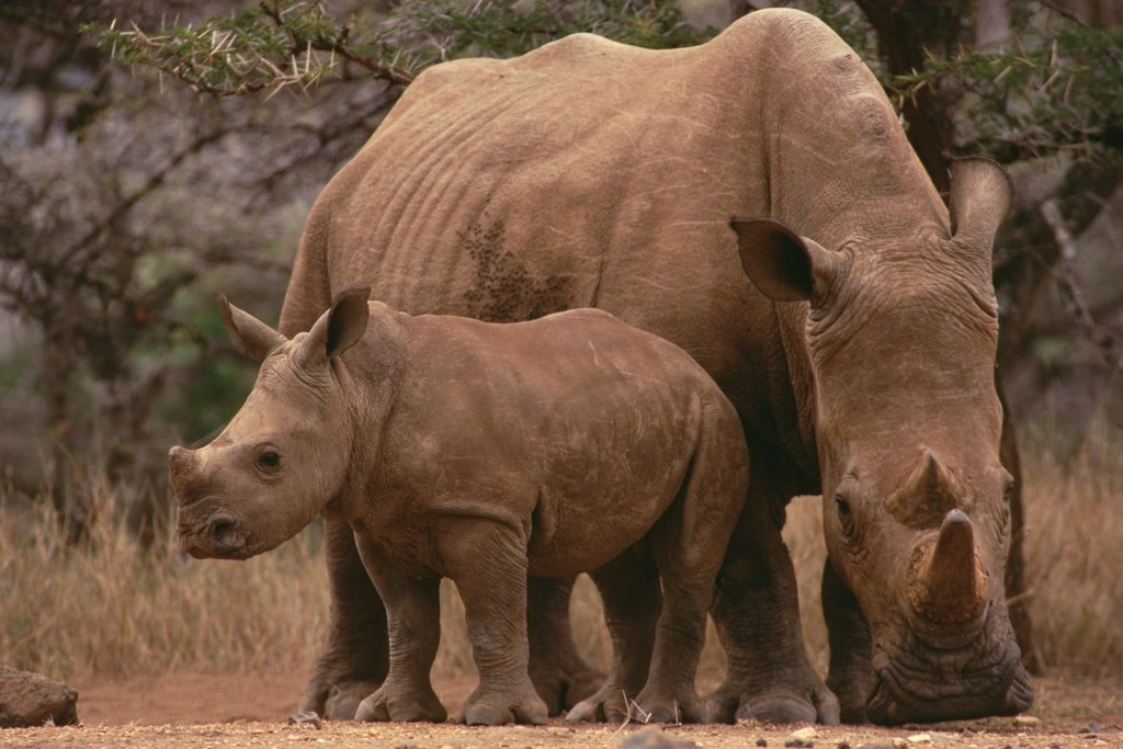 Stock Photo: 4201-31340 White Rhinoceros (Ceratotherium simum) mother with calf, Lewa Wildlife Conservancy, Kenya