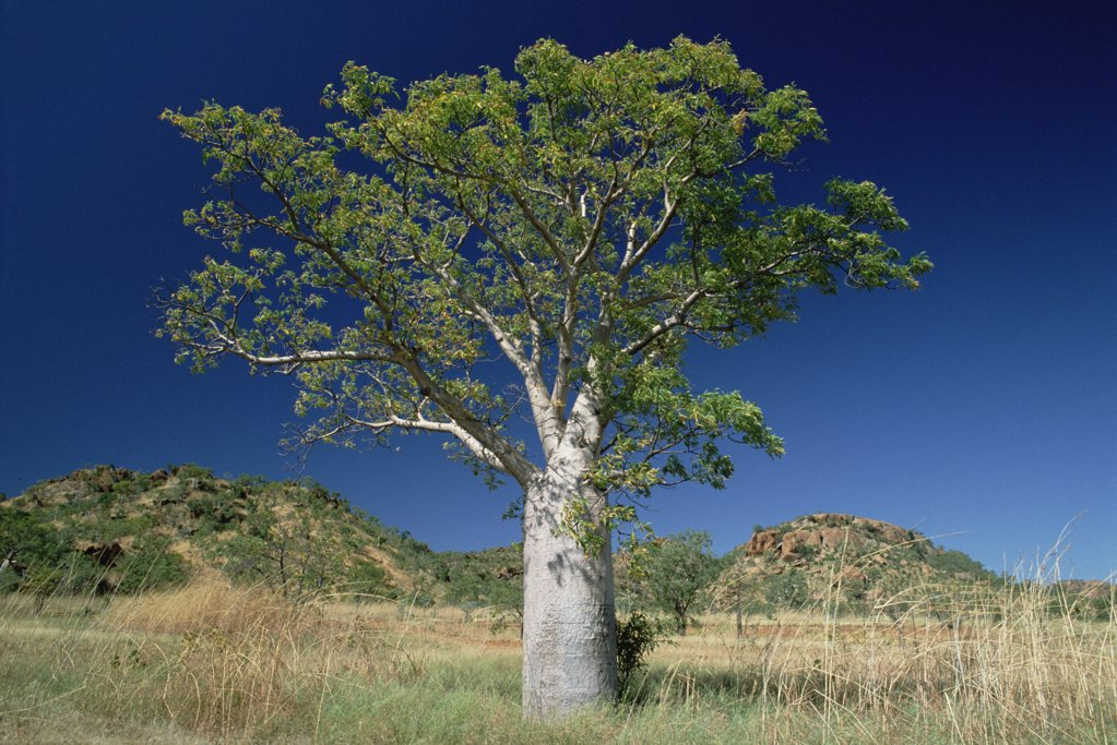 Australian Baobab (Adansonia gregorii) tree growing on grasslands, Western Australia : Stock Photo