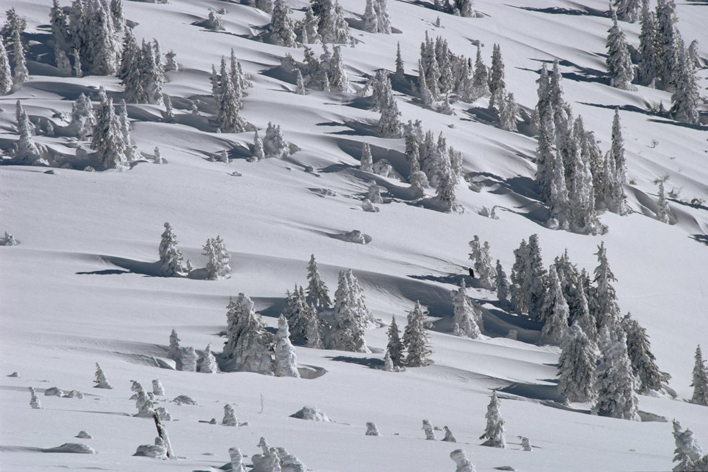 Stock Photo: 4201-3150 Douglas Fir (Pseudotsuga menziesii) trees casting long shadows in winter, Yellowstone National Park, Wyoming