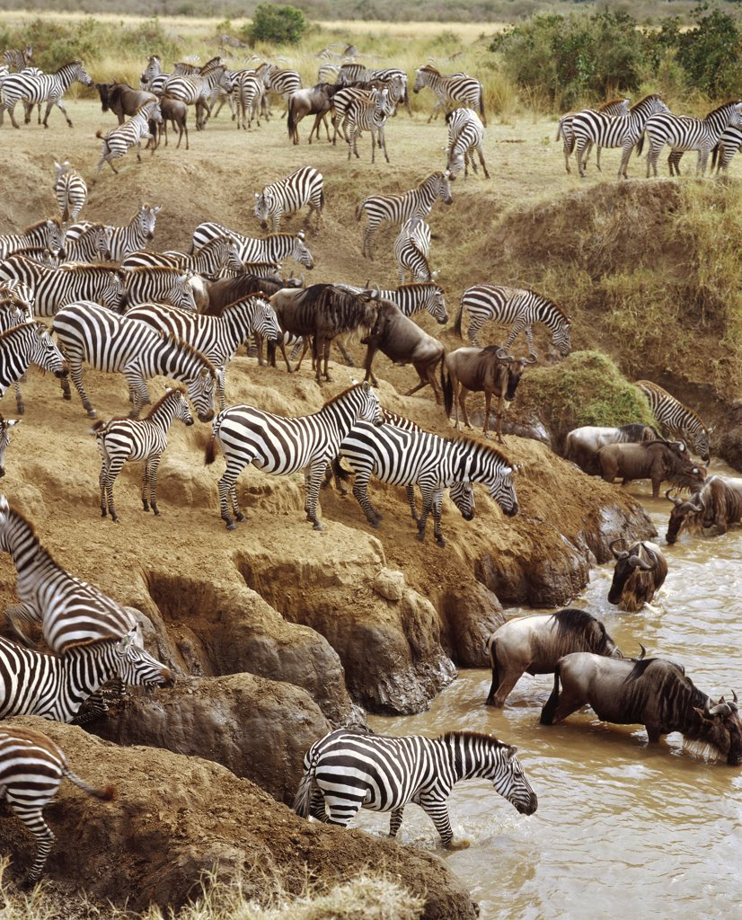 Stock Photo: 4201-31590 Burchell's Zebra (Equus burchellii) and Blue Wildebeest (Connochaetes taurinus) crossing the Mara River, Masai Mara National Reserve, Kenya