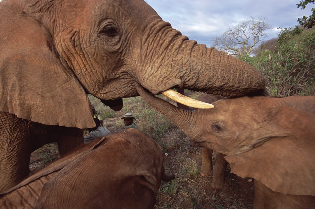 Stock Photo: 4201-31693 African Elephant (Loxodonta africana) orphan called Malaika, with Natumi, David Sheldrick Wildlife Trust, Tsavo East National Park, Kenya