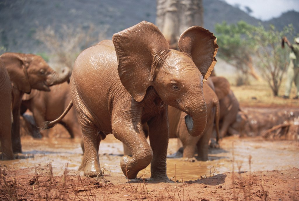 African Elephant (Loxodonta africana) orphan, play-charging, David Sheldrick Wildlife Trust, Tsavo East National Park, Kenya : Stock Photo