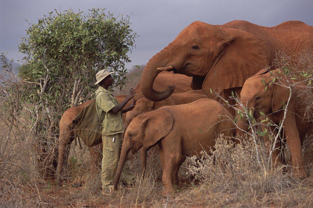 African Elephant (Loxodonta africana) keeper Mishak Nzimbi speaking to Malalka, a twelve year old orphan, David Sheldrick Wildlife Trust, Tsavo East National Park, Kenya : Stock Photo