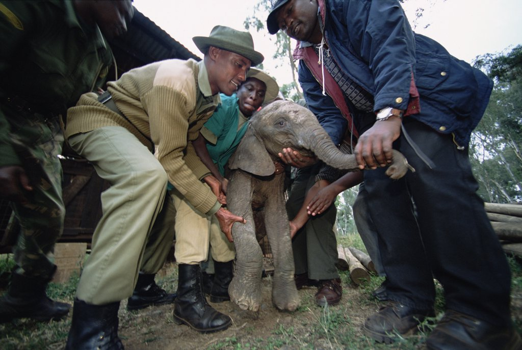 African Elephant (Loxodonta africana) orphan baby, Thoma, rescued by Edwin from lion cage in which she is being held, David Sheldrick Wildlife Trust, Tsavo East National Park, Kenya : Stock Photo