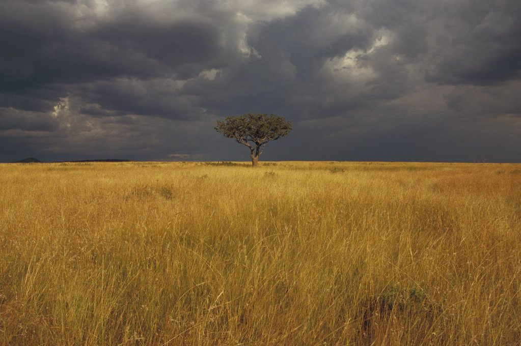 Stock Photo: 4201-31899 Whistling Thorn (Acacia drepanolobium) in open grasslands, Masai Mara National Reserve, Kenya