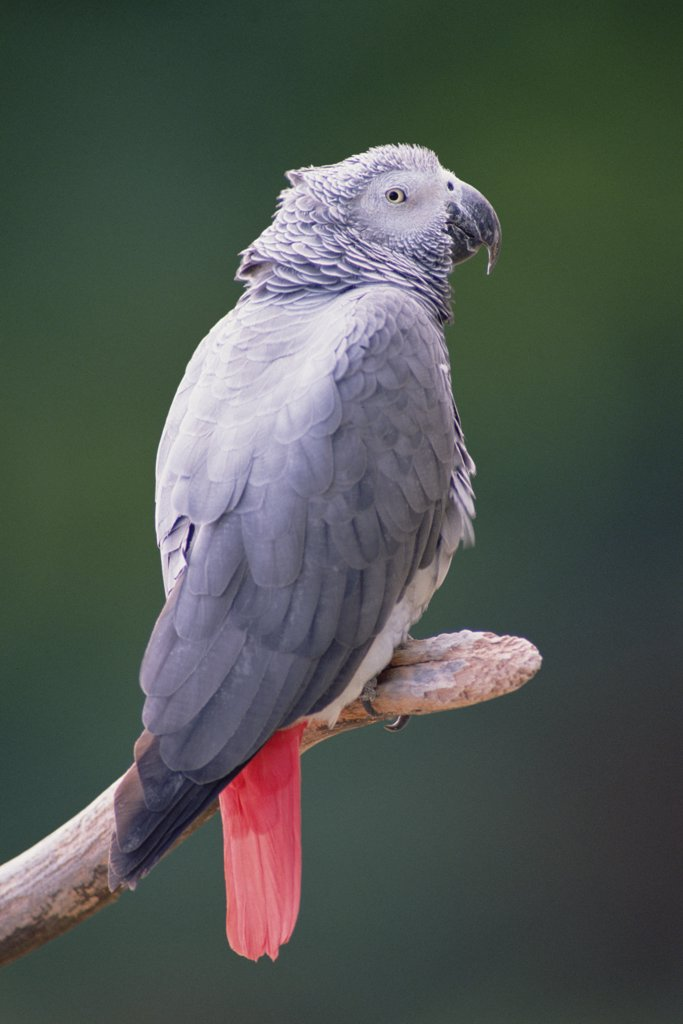 African Grey Parrot (Psittacus erithacus) portrait, east Africa : Stock Photo