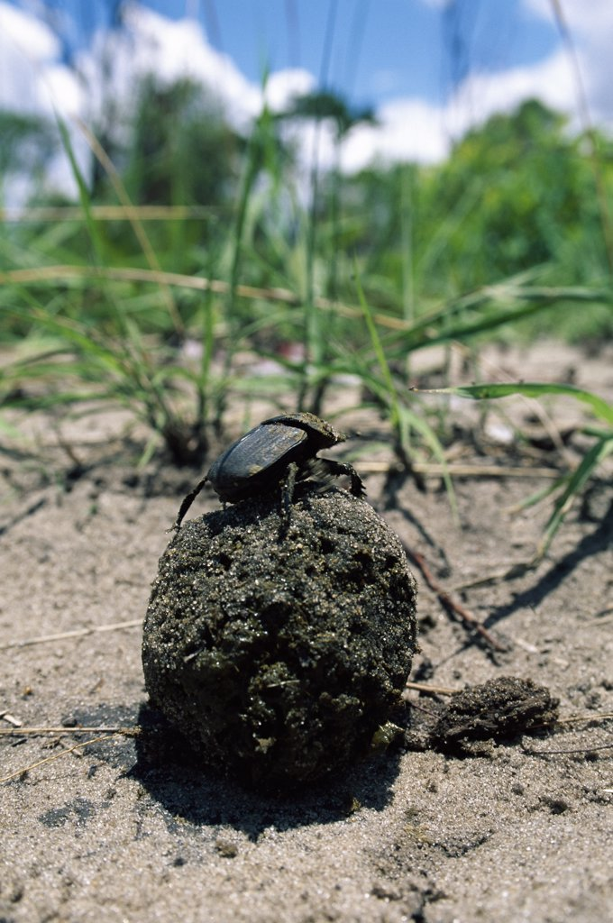 Stock Photo: 4201-31981 Dung Beetle (Scarabaeidae) rolling dung ball, Matetsi safari area, Zimbabwe