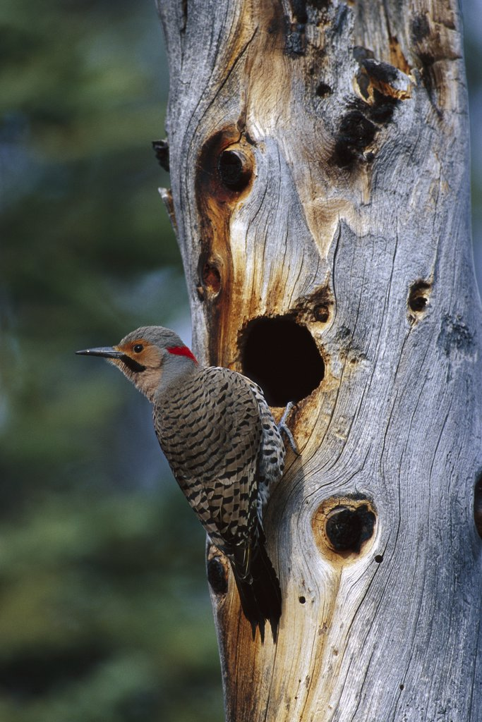 Stock Photo: 4201-3226 Northern Flicker (Colaptes auratus) woodpecker near nest cavity, Slana, Alaska