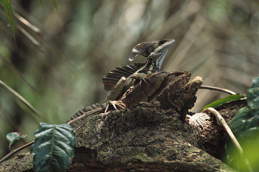 Green Basilisk (Basiliscus plumifrons), Manuel Antonio National Park, Costa Rica : Stock Photo