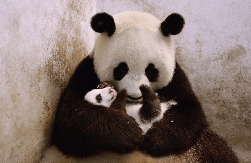 Giant Panda (Ailuropoda melanoleuca) Gongzhu is successfully re-introduced to one of her nine week old twin cubs which she initially rejected, China Conservation and Research Center for the Giant Panda, Wolong Nature Reserve, China : Stock Photo