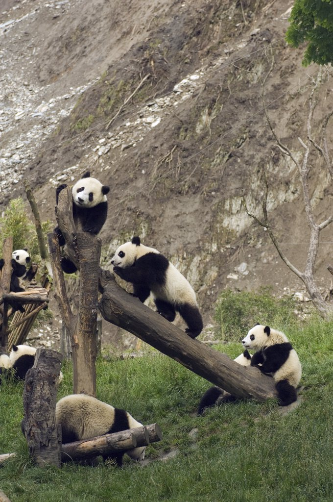 Giant Panda (Ailuropoda melanoleuca) cubs playing on structures near landslide after the May 12, 2008 earthquake, CCRCGP, Wolong, China : Stock Photo