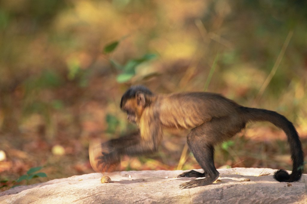 Stock Photo: 4201-32631 Brown Capuchin (Cebus apella) stabilizes itself with its prehensile tail while using a heavy rock hammer to crack open palm nuts placed in small pits in the anvil rock surface, Cerrado habitat, Brazil