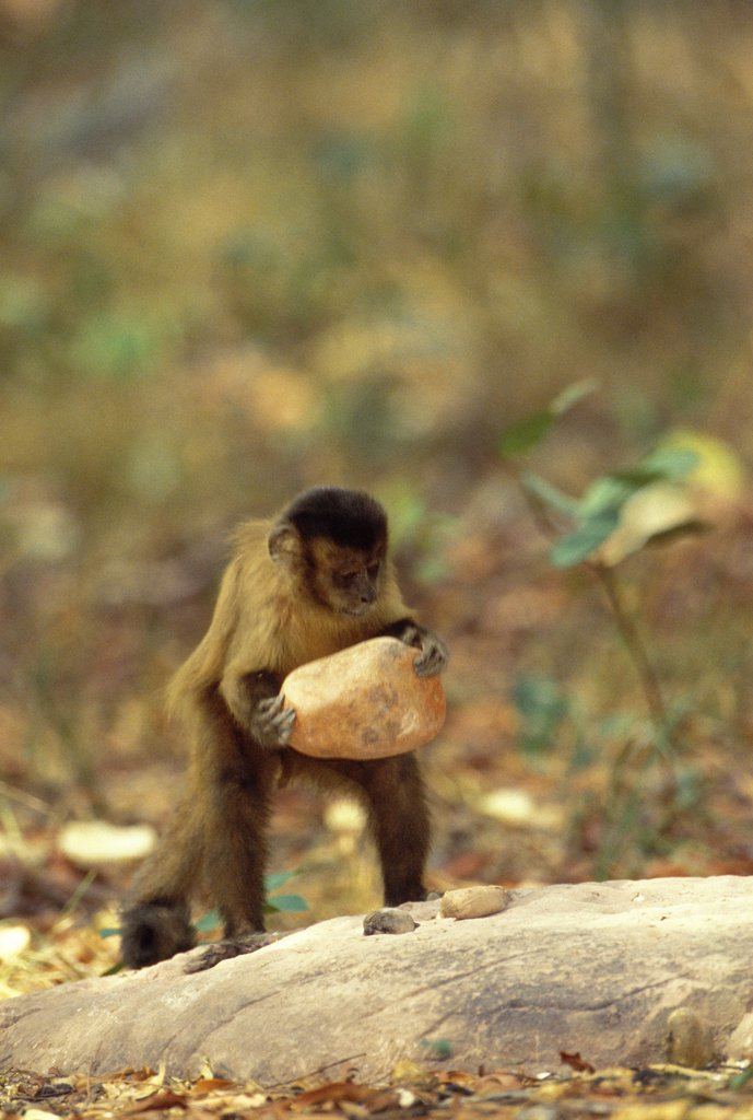 Brown Capuchin (Cebus apella) stabilizes itself with its prehensile tail while using a heavy rock hammer to crack open palm nuts placed in small pits in the anvil rock surface, Cerrado habitat, Brazil : Stock Photo