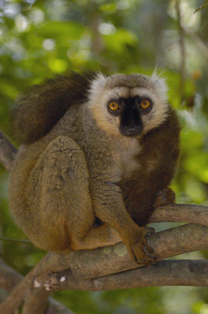 Sanford's Brown Lemur (Eulemur fulvus sanfordi) male portrait, Ankarana Special Reserve, northern Madagascar : Stock Photo