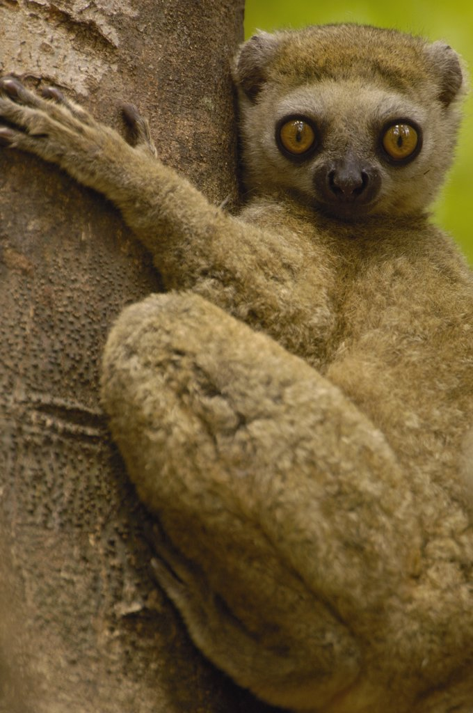 Stock Photo: 4201-32689 Avahi Lemur (Avahi occidentalis) endemic to western deciduous forest, Ankarafantsika Strict Nature Reserve, Madagascar