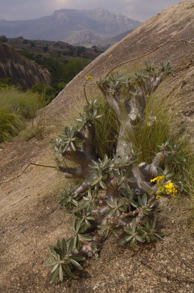 Stock Photo: 4201-32790 Elephant's Foot Plant (Pachypodium densiflorum) endemic, on granite massifs, Andringitra, south central Madagascar