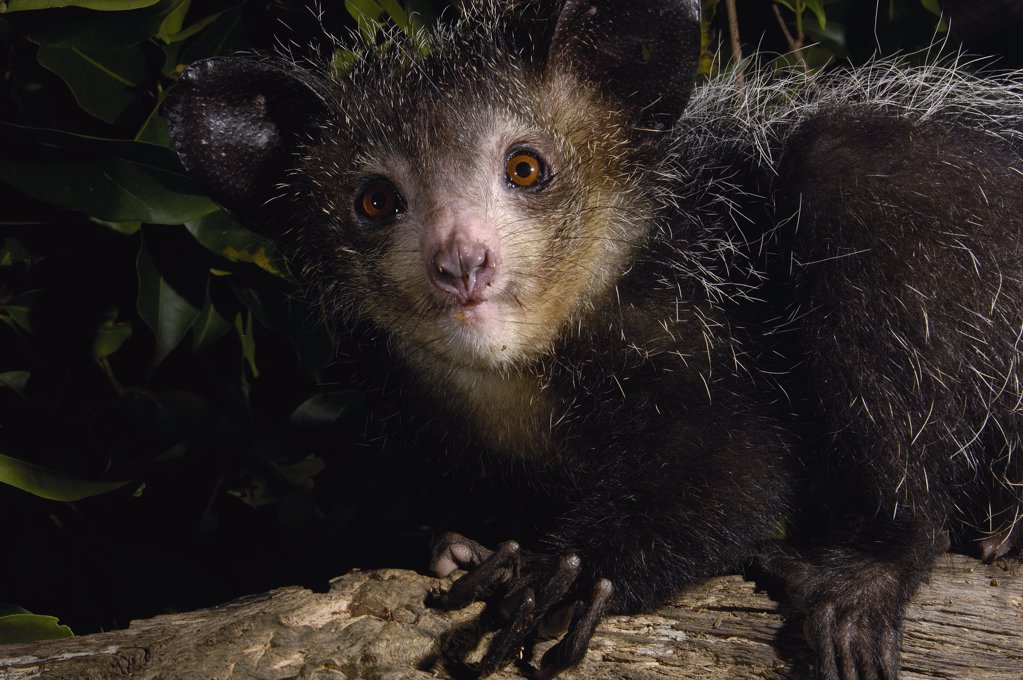 Aye-aye (Daubentonia madagascariensis) one of the more bizarre mammals in the world, their peculiar features include huge ears, bushy tail, long shaggy coast, rodent-like teeth and a skeletal 'probe-like' middle finger, Tsimbazaza Zoo, Madagascar : Stock Photo