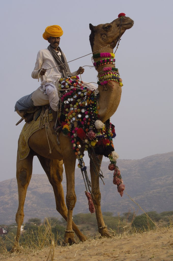 Dromedary (Camelus dromedarius) camel with rider at Pushkar camel and livestock fair, Pushkar, Rajasthan, India : Stock Photo