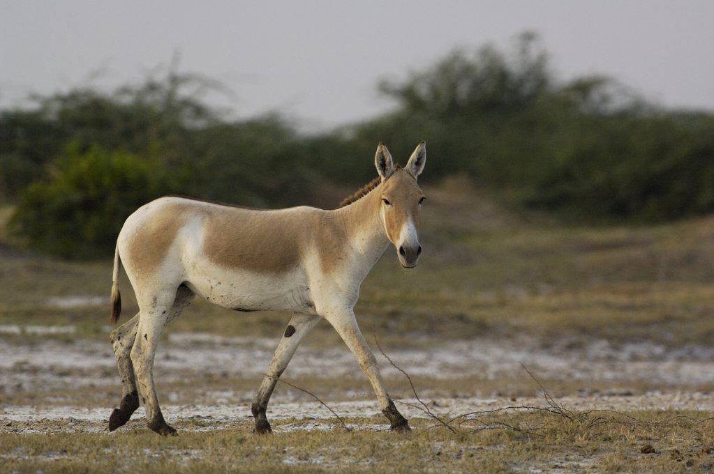 Stock Photo: 4201-32938 Indian Wild Ass (Equus hemionus khur) walking, Rann of Kutch, Gujarat, India