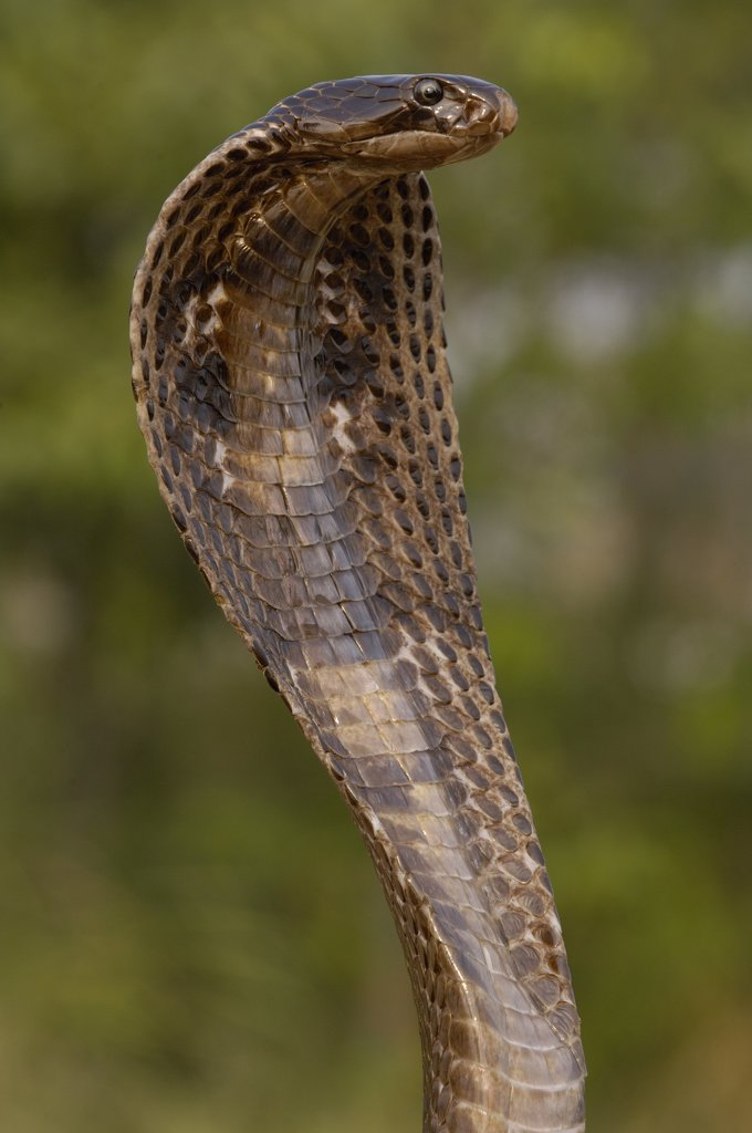 Spectacled Cobra (Naja naja) with hood flared in defense posture, Gujarat, India : Stock Photo