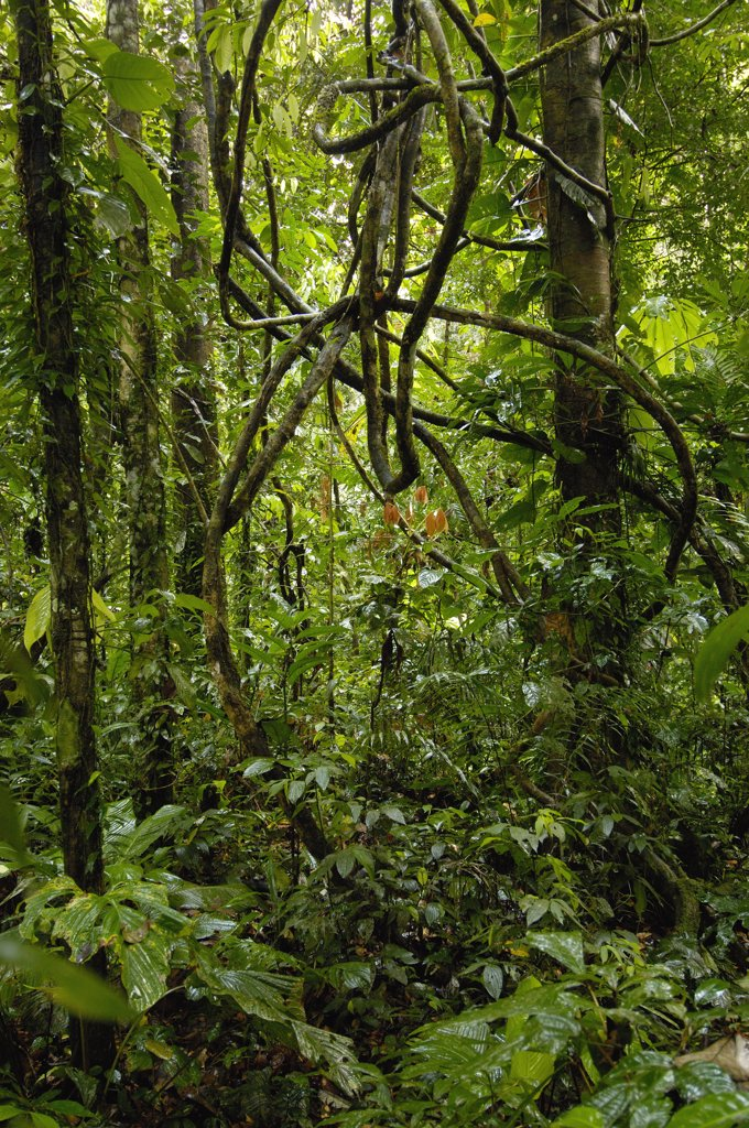 Vines in tropical rainforest understory, Yasuni National Park declarned a UNESCO Biosphere Reserve in 1989, Amazon rainforest, Ecuador : Stock Photo