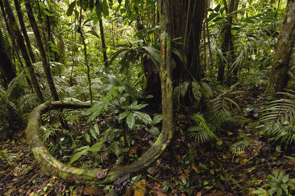 Vines in tropical rainforest understory, Yasuni National Park declarned a UNESCO Biosphere Reserve in 1989, Amazon rainforest, Ecuador : Stock Photo