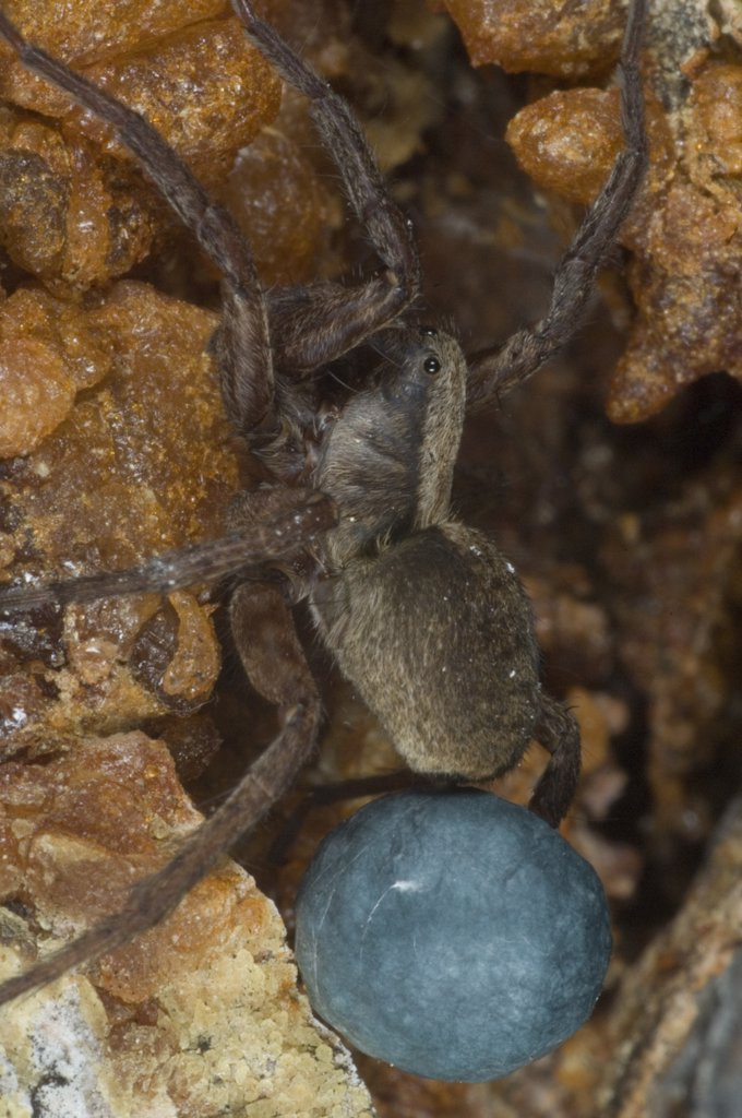 Stock Photo: 4201-3308 Wolf Spider (Lycosidae) female with egg sac, Alaska