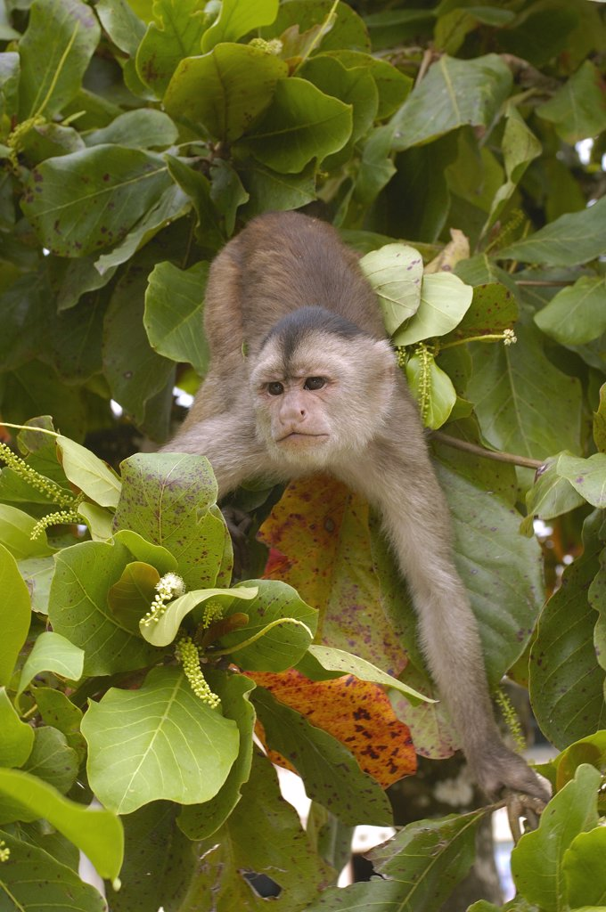 Stock Photo: 4201-33141 White-fronted Capuchin (Cebus albifrons) in trees, Puerto Misahualli, Amazon Rainforest, Ecuador