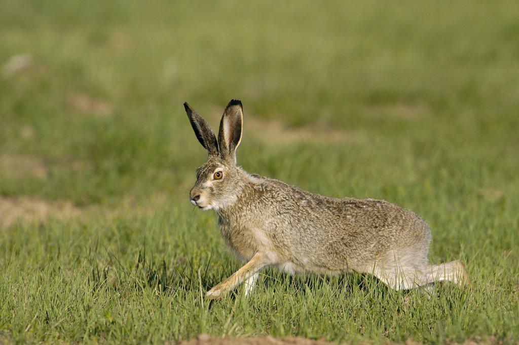 Stock Photo: 4201-33161 White-tailed Jack Rabbit (Lepus townsendii) running, Wyoming