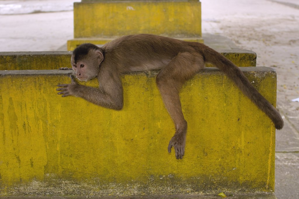 White-fronted Capuchin (Cebus albifrons) resting on cement, Puerto Misahualli, Amazon Rainforest, Ecuador : Stock Photo