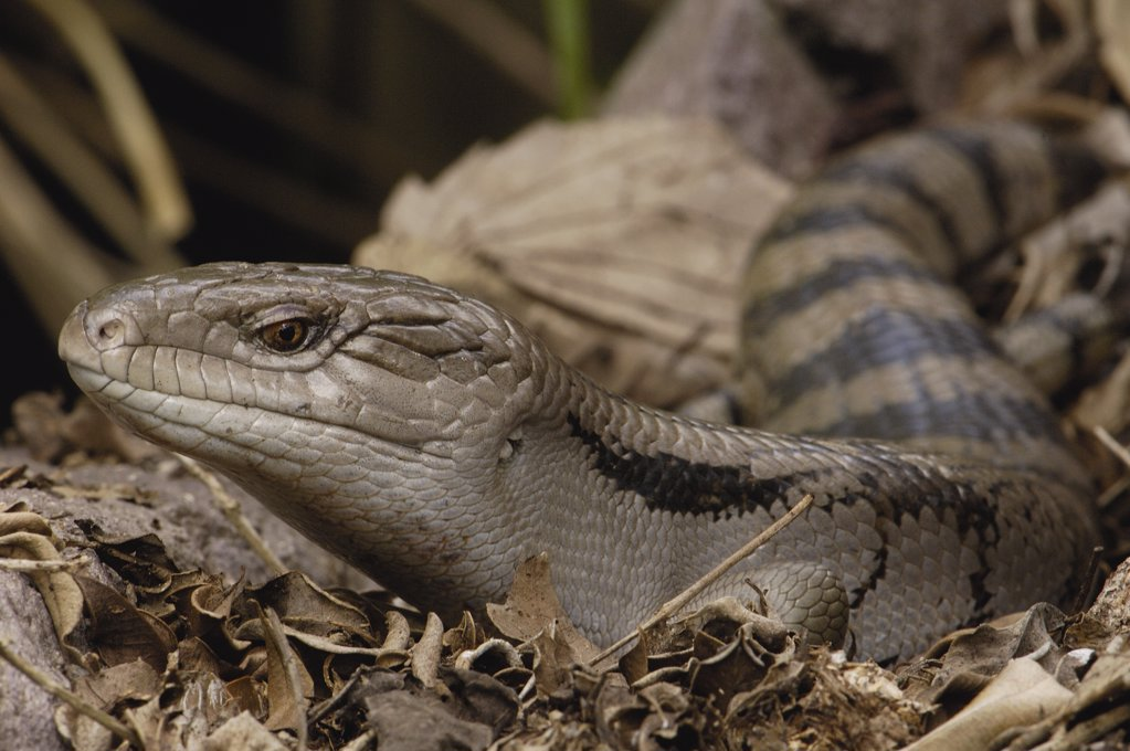 Eastern Blue-tongue Skink (Tiliqua scincoides), Brisbane, Australia : Stock Photo