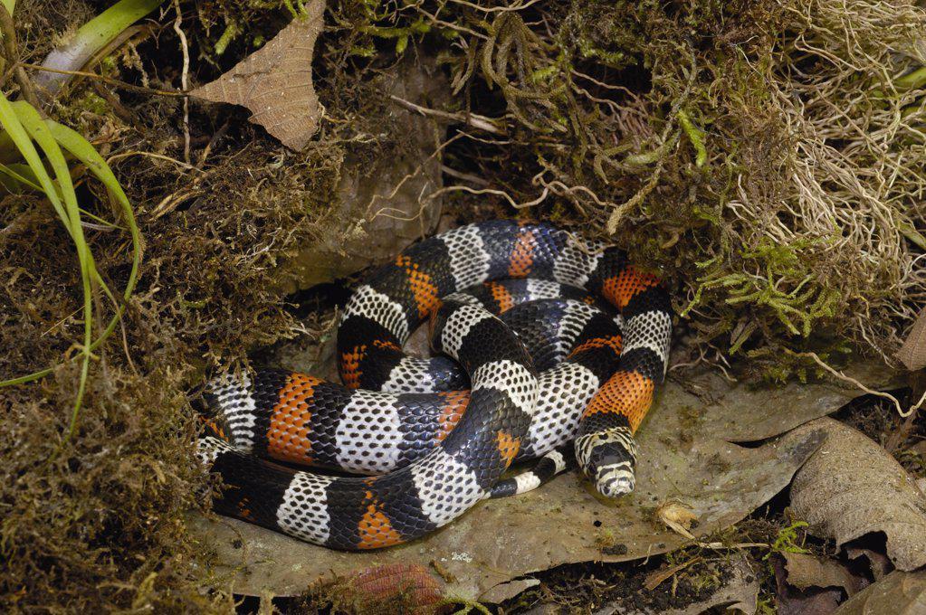 Milk Snake (Lampropeltis triangulum), mimics venomous ...