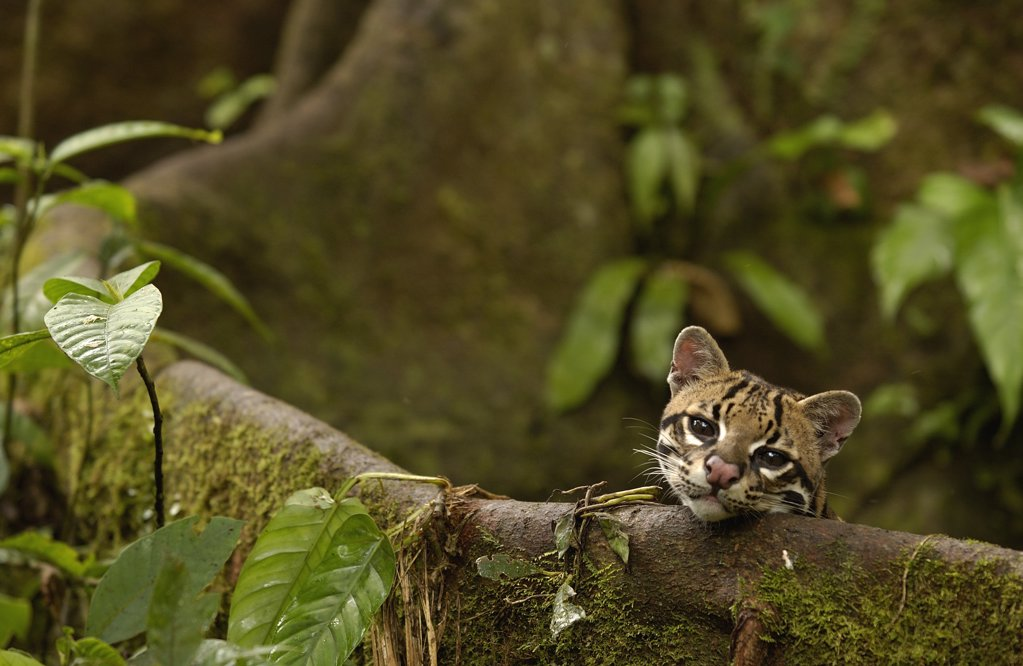 Ocelot (Leopardus pardalis) resting on buttress root on the forest floor in the Amazon rainforest, Ecuador : Stock Photo