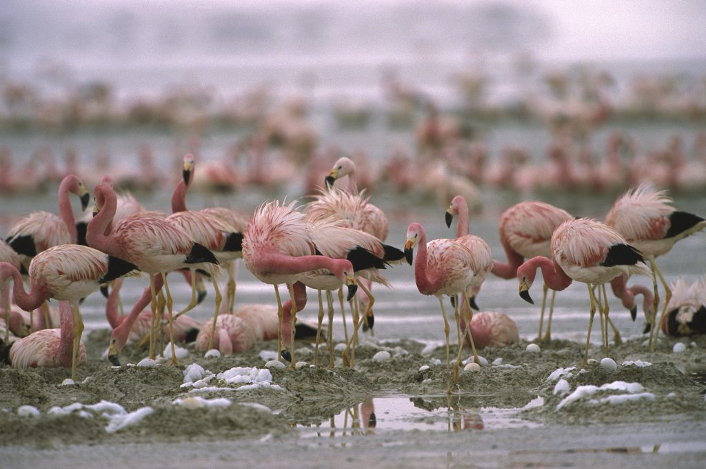 Stock Photo: 4201-34048 Andean Flamingo (Phoenicopterus andinus) flock nesting in their breeding grounds, Laguna Colorada, Eduardo Avaroa Faunistic Reserve, Andes Mountains, Southwestern Bolivia