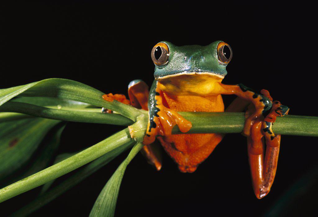 Stock Photo: 4201-34071 Splendid Leaf Frog (Agalychnis calcarifer) climbing on plant stem, northwestern Ecuador