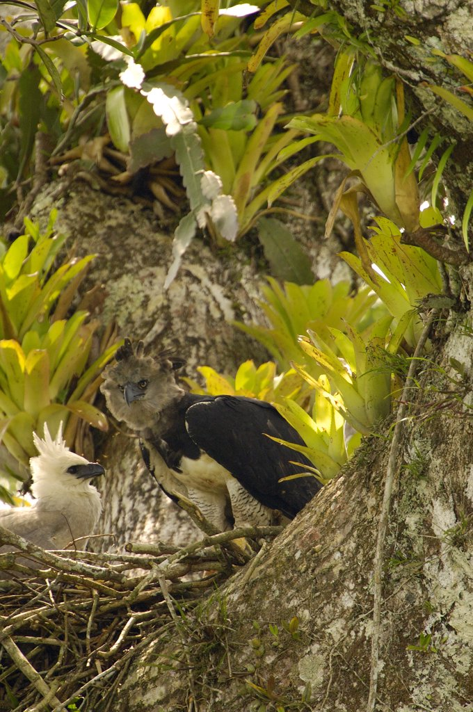 Stock Photo: 4201-34293 Harpy Eagle (Harpia harpyja) mother with five month old chick on nest in Kapok or Ceibo tree (Ceiba trichistandra), Aguarico River drainage, Amazon rainforest, Ecuador