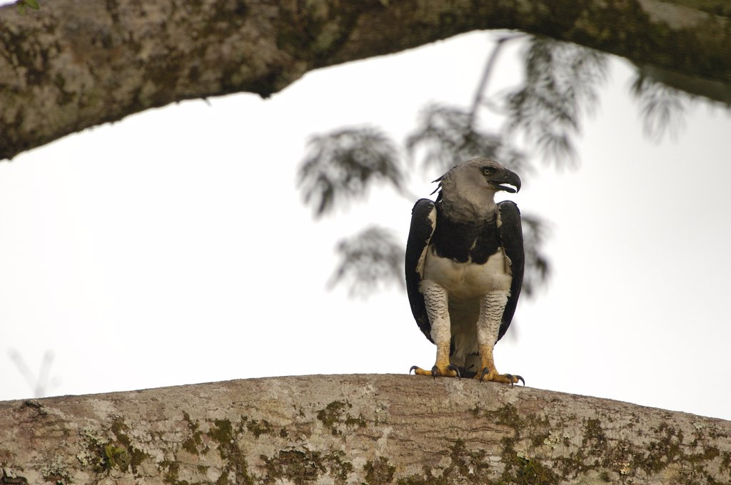 Harpy Eagle (Harpia harpyja) wild female 40 meters up a Kapok or Ceibo tree (Ceiba trichistandra), Cuyabeno Reserve, Amazon rainforest, Ecuador : Stock Photo