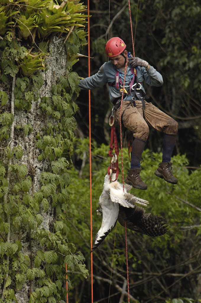 Stock Photo: 4201-34330 Alexander Blanco descending a Kapok tree with a captured seven month old wild Harpy Eagle (Harpia harpyja) chick, Cuyabeno Reserve, Amazon rainforest, Ecuador