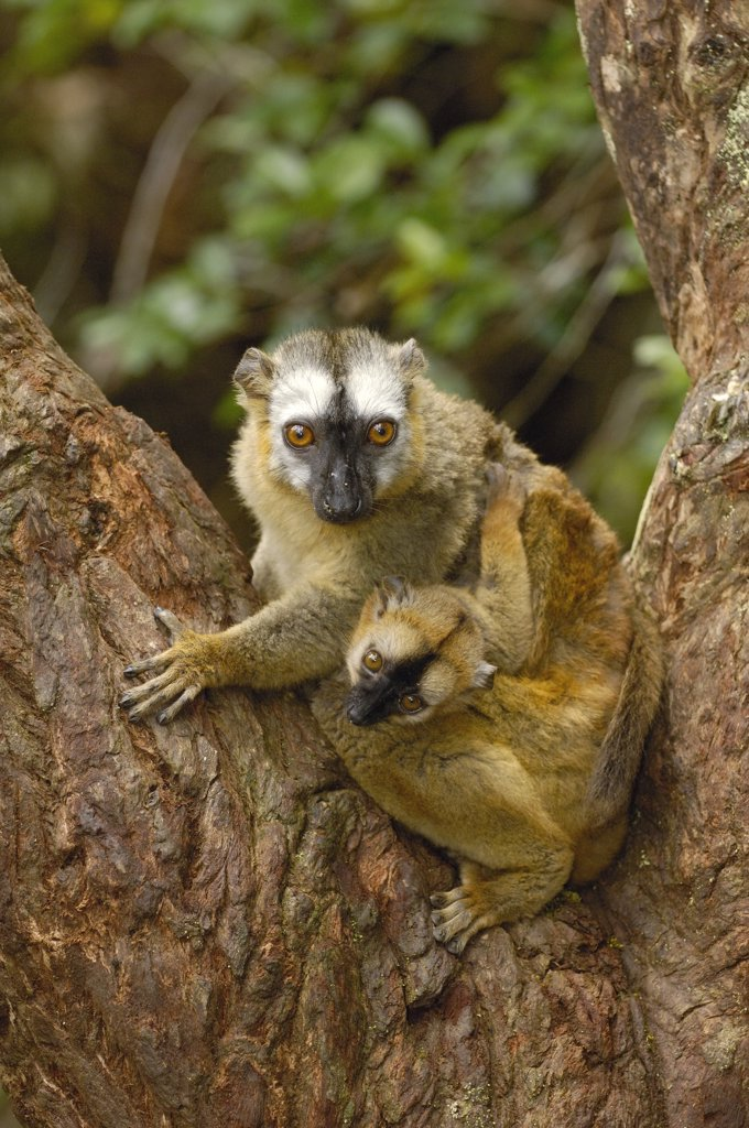 Stock Photo: 4201-34596 Brown Lemur (Lemur fulvus) female and baby, eastern rainforest near Perinet, Madagascar