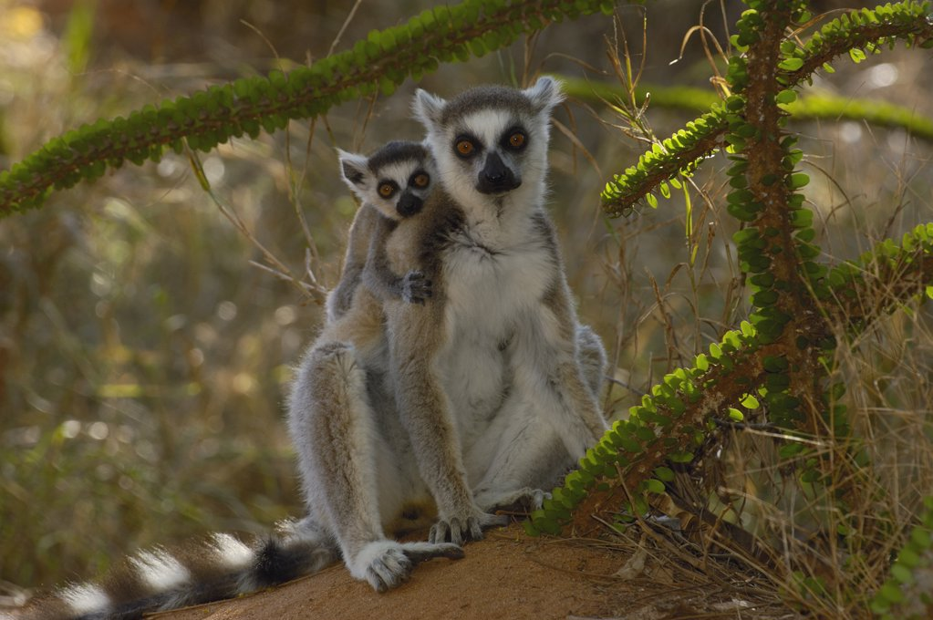 Stock Photo: 4201-34605 Ring-tailed Lemur (Lemur catta) mother and baby sitting at the base of an Octopus tree, vulnerable, Berenty Reserve, southern Madagascar