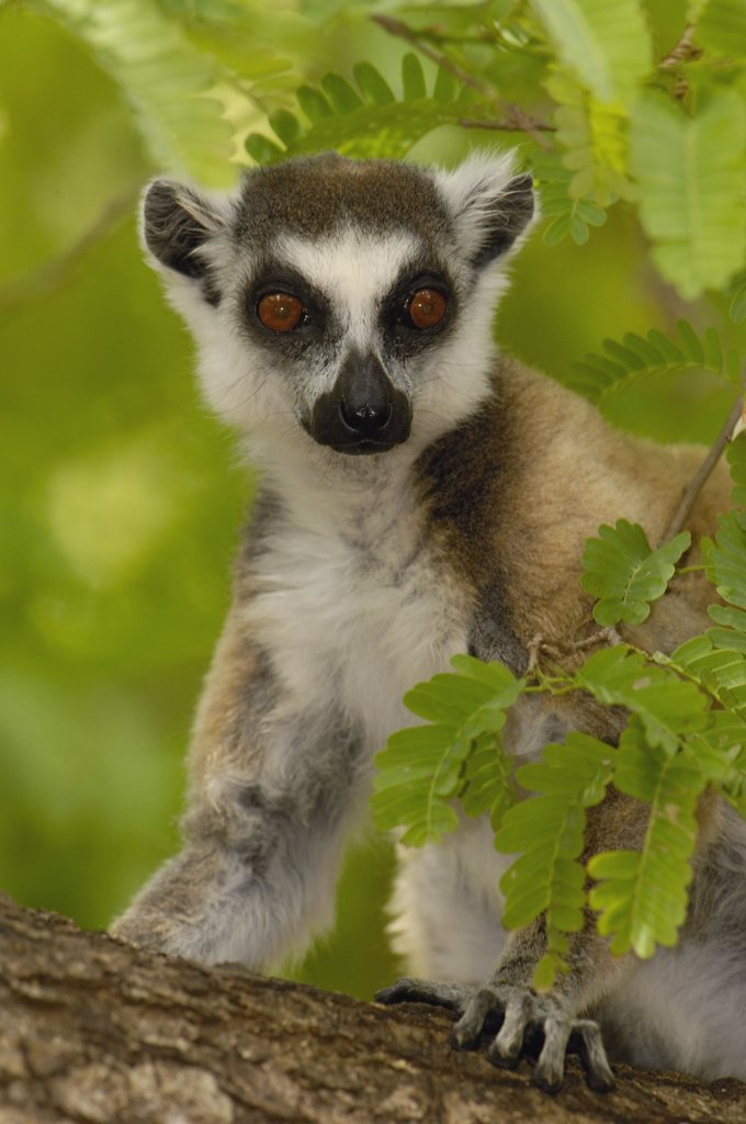 Stock Photo: 4201-34616 Ring-tailed Lemur (Lemur catta) portrait amid foliage, vulnerable, Berenty Reserve, southern Madagascar
