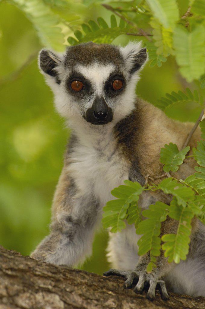 Ring-tailed Lemur (Lemur catta) portrait amid foliage, vulnerable, Berenty Reserve, southern Madagascar : Stock Photo