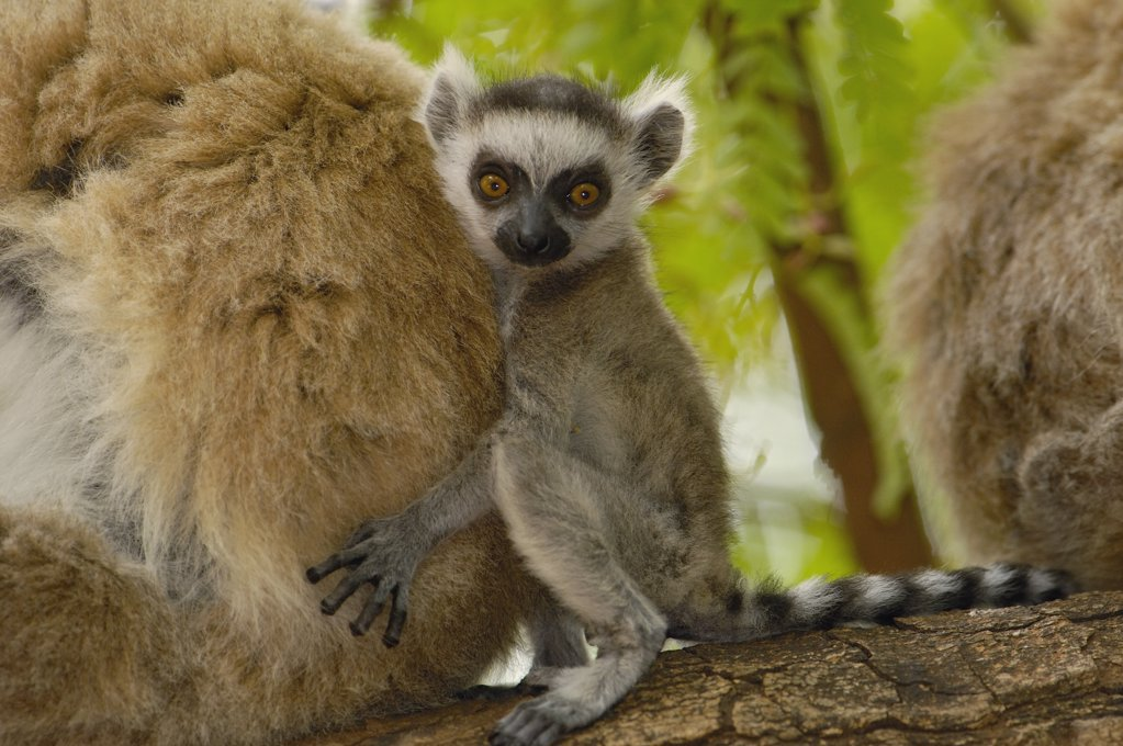 Stock Photo: 4201-34617 Ring-tailed Lemur (Lemur catta) baby clinging to mother, vulnerable, Berenty Reserve, southern Madagascar