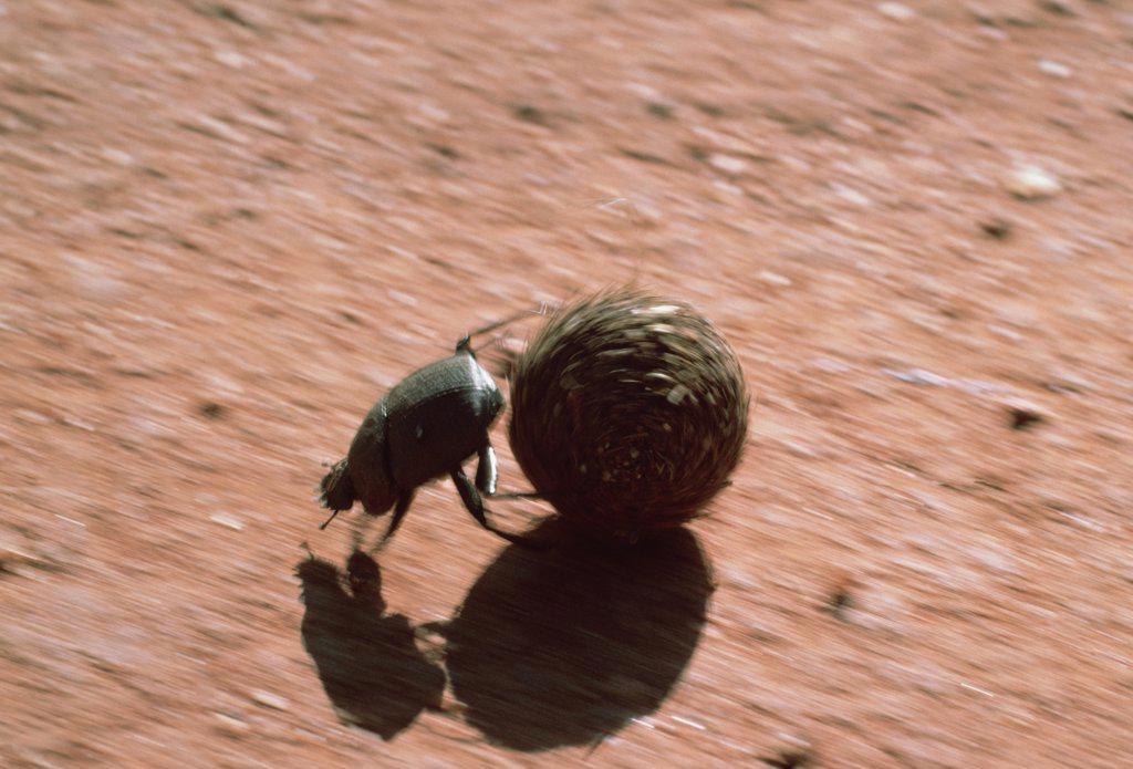 Stock Photo: 4201-3462 Dung Beetle (Scarabaeidae) rolling dung ball, Kenya