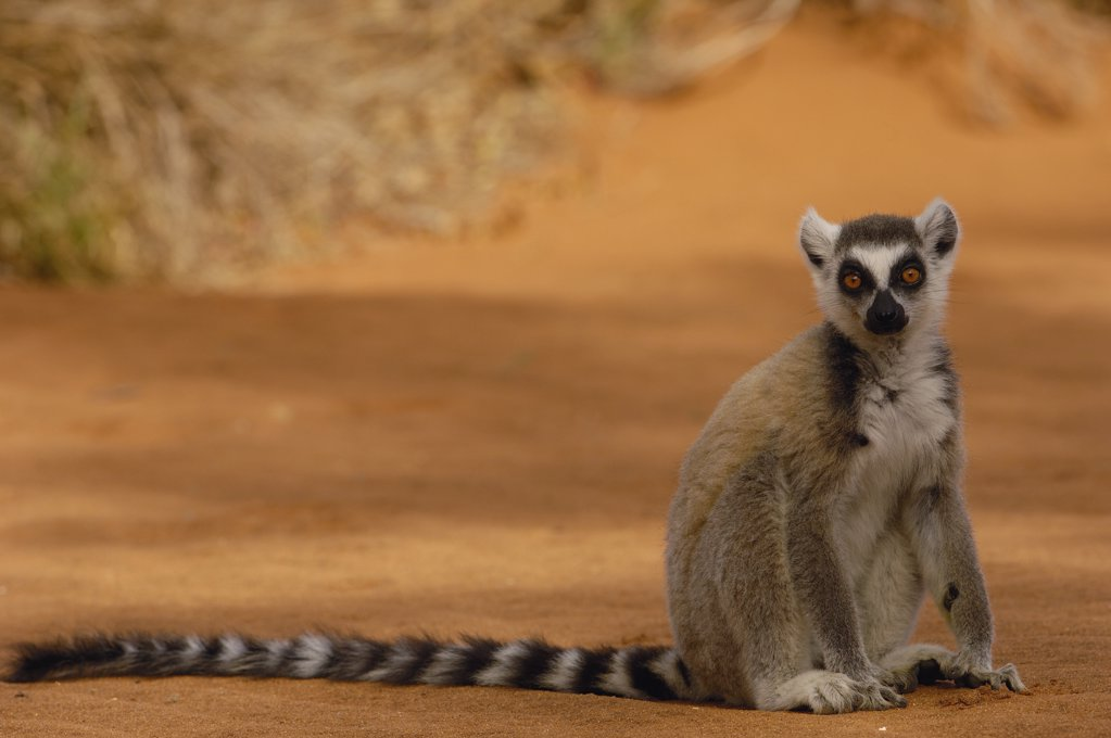 Stock Photo: 4201-34628 Ring-tailed Lemur (Lemur catta) portrait, vulnerable, Berenty Reserve, southern Madagascar